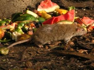 potkan ak zacíti žrádlo sa svojho fleku len tak ľakho nevzdá. svoju pôsobište opôšťa nerád a častokrát za sebou zanechá špinu a smrad
