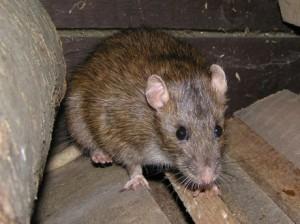 potkan zahnaný do kúta býva veľmi nebezpečný. na veľkého potkana malá lopata nestačí